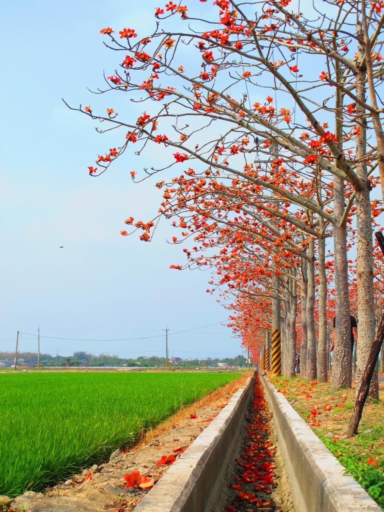 【台南】林初埤。季節限定美麗的木棉花道:IMG_9453.JPG