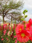 【台南】學甲蜀葵花盛開。季節限定版美麗花景:IMG_9686.JPG