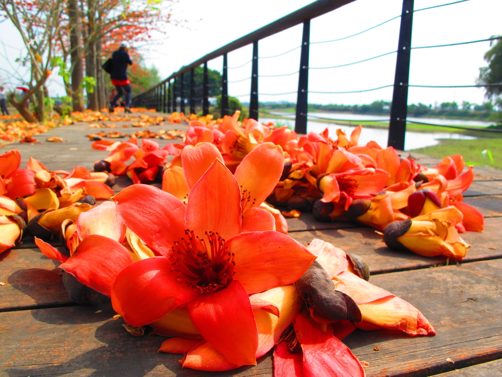 【台南】林初埤。季節限定美麗的木棉花道:IMG_9423.JPG