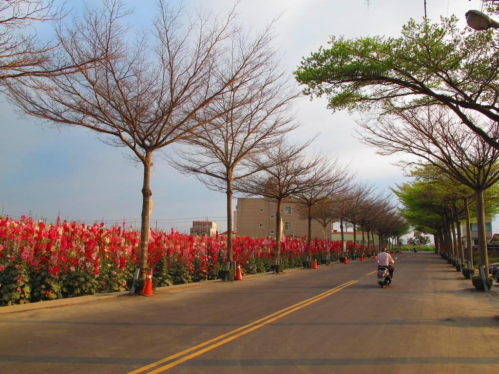 【台南】學甲蜀葵花盛開。季節限定版美麗花景:IMG_9632.JPG