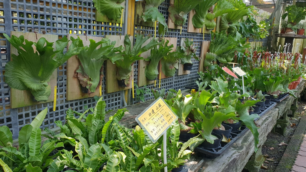 145579.jpg - 【彰化.田尾】鳳凰花園&窄巷咖啡。田尾最美麗花園植物種類超多推薦。低消100水果免費吃