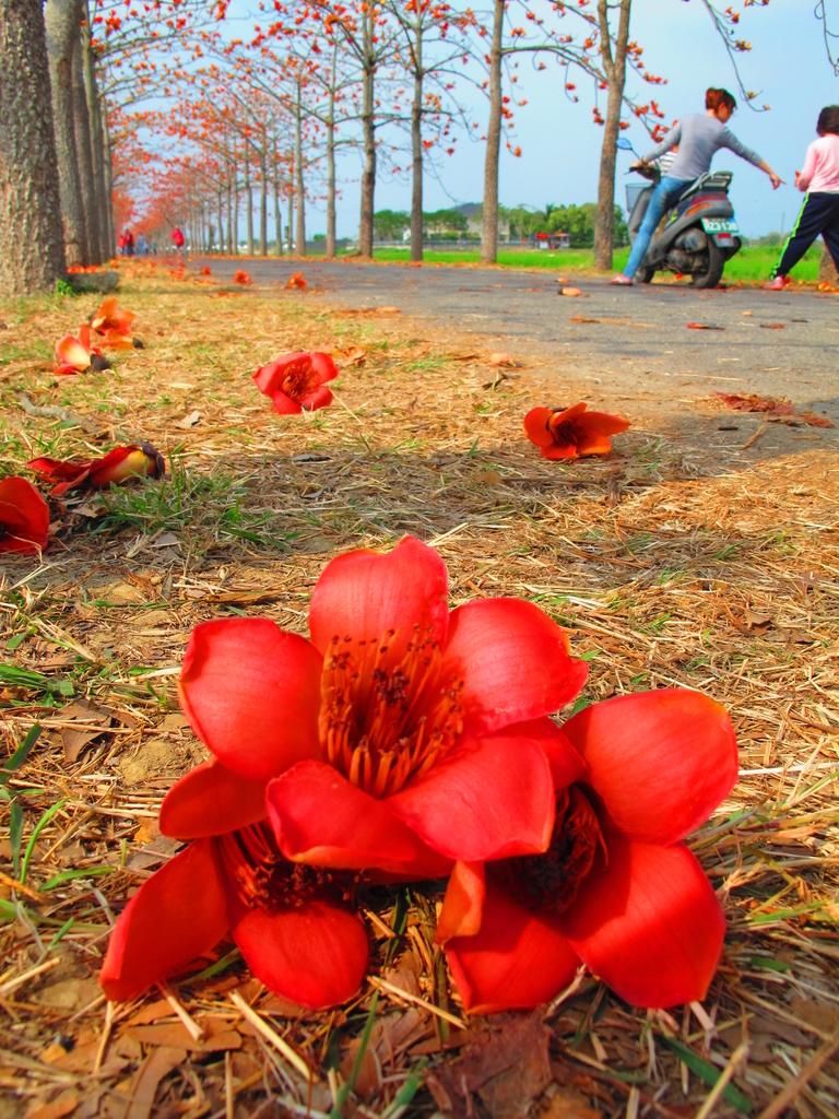 【台南】林初埤。季節限定美麗的木棉花道:IMG_9471.JPG