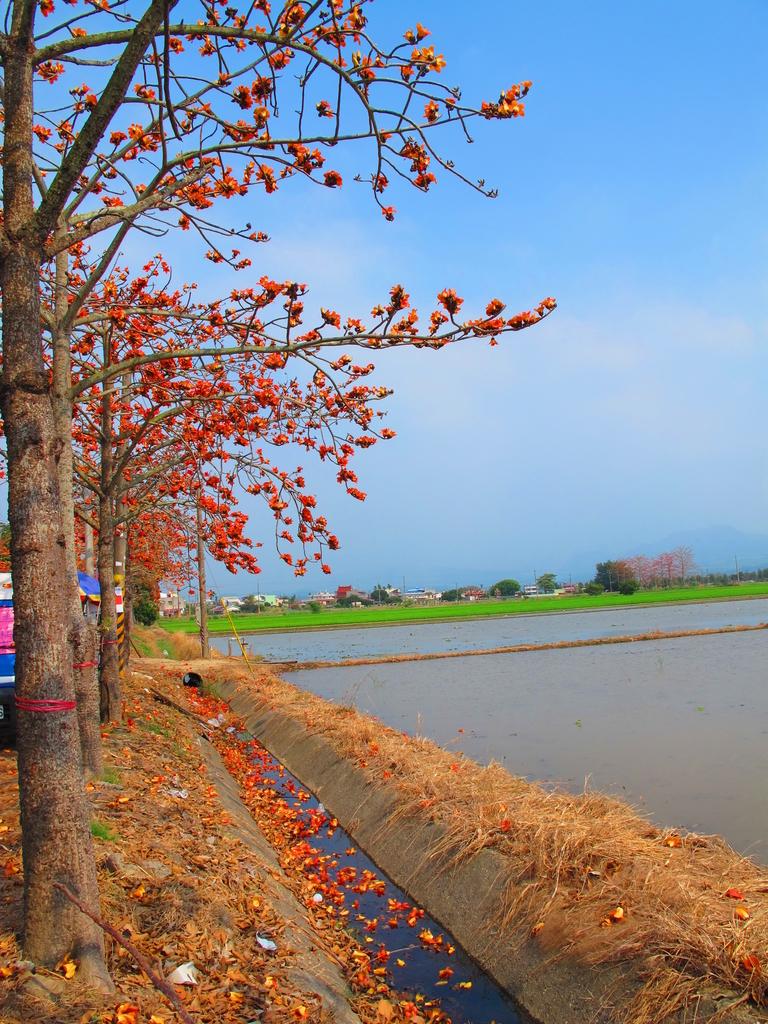 【台南】林初埤。季節限定美麗的木棉花道:IMG_9438.JPG