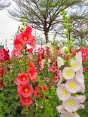 【台南】學甲蜀葵花盛開。季節限定版美麗花景:IMG_9699.JPG