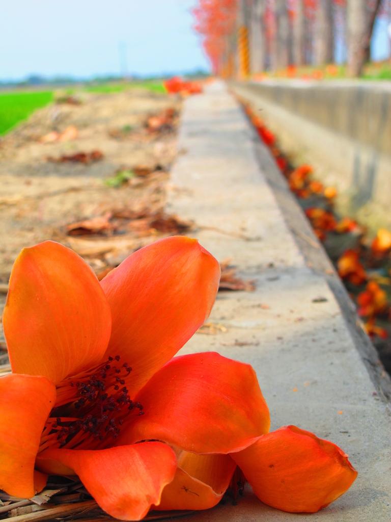 【台南】林初埤。季節限定美麗的木棉花道:IMG_9457.JPG