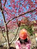 【南投.信義】1月季節限定美景。外坪頂蔡家秘境梅園。絕美水池倒影:128202.jpg