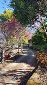 【南投.信義】1月季節限定美景。外坪頂蔡家秘境梅園。絕美水池倒影:128166.jpg