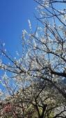 【南投.信義】1月季節限定美景。外坪頂蔡家秘境梅園。絕美水池倒影:128170.jpg