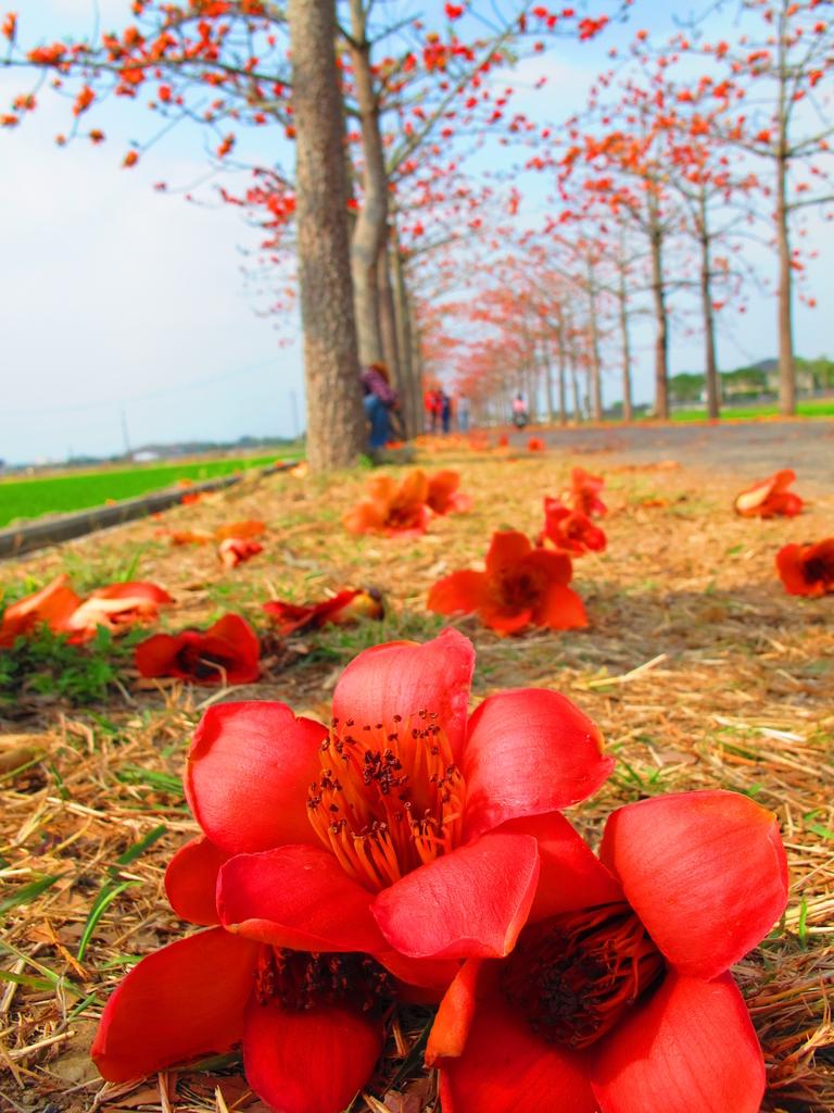 【台南】林初埤。季節限定美麗的木棉花道:IMG_9473.JPG