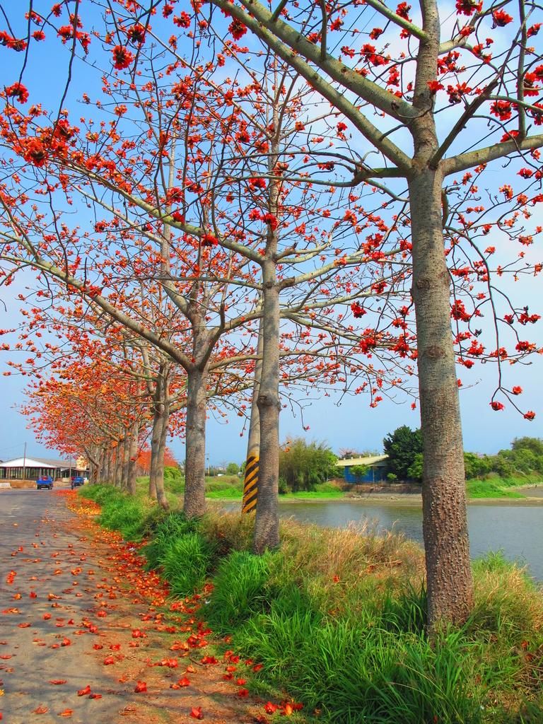 【台南】林初埤。季節限定美麗的木棉花道:IMG_9385.JPG