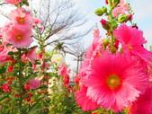 【台南】學甲蜀葵花盛開。季節限定版美麗花景:IMG_9573.JPG