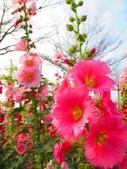 【台南】學甲蜀葵花盛開。季節限定版美麗花景:IMG_9574.JPG