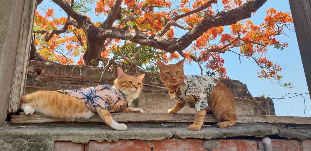 20200515_122619.jpg - 【高雄.湖內】帶著貓咪旅行去。斷垣殘壁+百年鳳凰木。滄桑美感+火紅橘海好好拍阿
