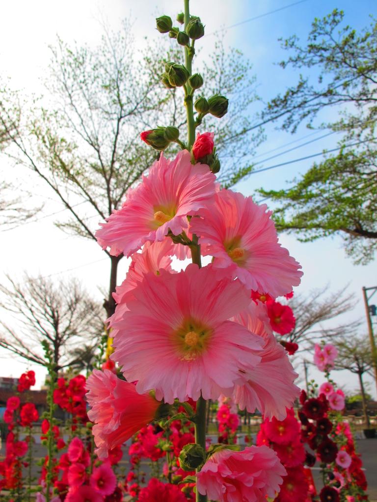【台南】學甲蜀葵花盛開。季節限定版美麗花景:IMG_9603.JPG