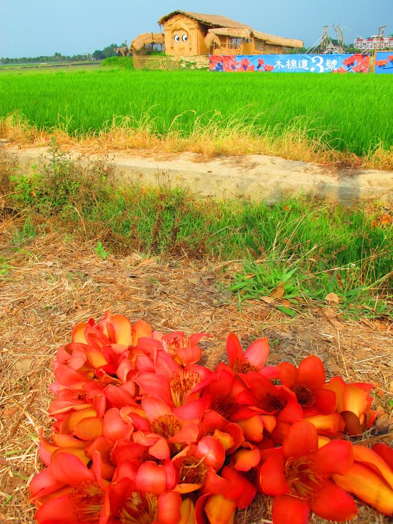 【台南】林初埤。季節限定美麗的木棉花道:IMG_9519.JPG