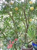 未分類相簿:後院柚子