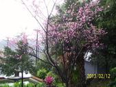 未分類相簿:林技師社區所植櫻花