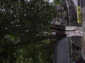 未分類相簿:桂林市高大的桂花喬木3