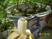 未分類相簿:香蕉結子