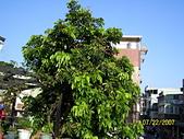 未分類相簿:窗前一棵龍眼樹