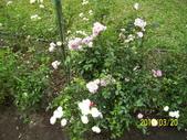 未分類相簿:士林官邸白玫瑰花1.jpg