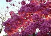 未分類相簿:紫花風鈴木.jpg