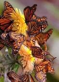 見過蝴蝶樹嗎?真是不看不知道!-7-15-2015:640-7-15-18.jpg