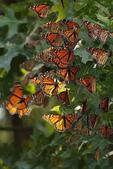 見過蝴蝶樹嗎?真是不看不知道!-7-15-2015:640-7-15-9.jpg