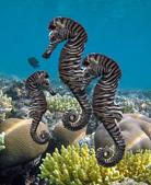 海裡生物,海馬-10-28-2015:2015-08-04_155725-10-28-3.jpg
