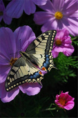 世界蝴蝶大全,終於找齊了,太漂亮了-7-19-2016:640-7-19-08.jpg