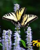 世界蝴蝶大全,終於找齊了,太漂亮了-7-19-2016:640-7-19-019.jpg