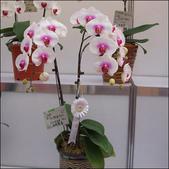 2010 台灣國際蘭展:100_4691-1.jpg