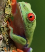 英國攝影師微距下的青蛙 -10-19-2013:securedownload-10-19-14.jpg