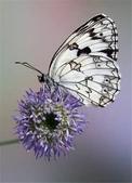 世界蝴蝶大全,終於找齊了,太漂亮了-7-19-2016:640-7-19-05.jpg