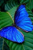 世界蝴蝶大全,終於找齊了,太漂亮了-7-19-2016:640-7-19-011.jpg