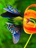 世界蝴蝶大全,終於找齊了,太漂亮了-7-19-2016:640-7-19-017.jpg