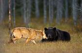有意思的畫面 (集) -2..8-18-2015:狼熊1-8-19-02.jpg