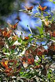 世界蝴蝶大全,終於找齊了,太漂亮了-7-19-2016:640-7-19-014.jpg