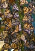 見過蝴蝶樹嗎?真是不看不知道!-7-15-2015:640-7-15-16.jpg