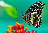 世界蝴蝶大全,終於找齊了,太漂亮了-7-19-2016:640-7-19-022.jpg