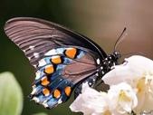 世界蝴蝶大全,終於找齊了,太漂亮了-7-19-2016:640-7-19-026.jpg