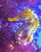 海裡生物,海馬-10-28-2015:2015-08-04_155638-10-28-1.jpg