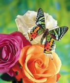 世界蝴蝶大全,終於找齊了,太漂亮了-7-19-2016:640-7-19-025.jpg
