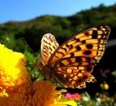 世界蝴蝶大全,終於找齊了,太漂亮了-7-19-2016:640-7-19-027.jpg