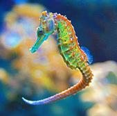 海裡生物,海馬-10-28-2015:2015-08-04_153105-10-28-18.jpg