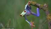 英國攝影師微距下的青蛙 -10-19-2013:securedownload-10-19-2.jpg