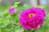 牡丹花顏 -4-2-2016:2016-03-29_110938-4-2-01.jpg
