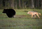 有意思的畫面 (集) -2..8-18-2015:狼熊3-8-19-04.jpg