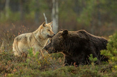 有意思的畫面 (集) -2..8-18-2015:狼熊5-8-19-06.jpg