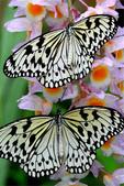 世界蝴蝶大全,終於找齊了,太漂亮了-7-19-2016:640-7-19-04.jpg
